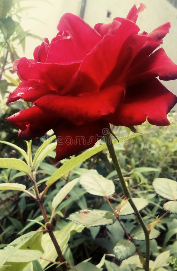 Inoncent цветка влюбленности красное стоковое фото