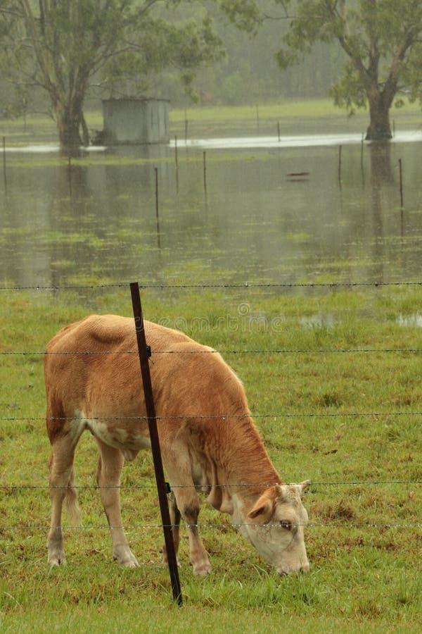 Inondazione di Brisbane ancora, bestiame sul rimanere alto fotografia stock libera da diritti