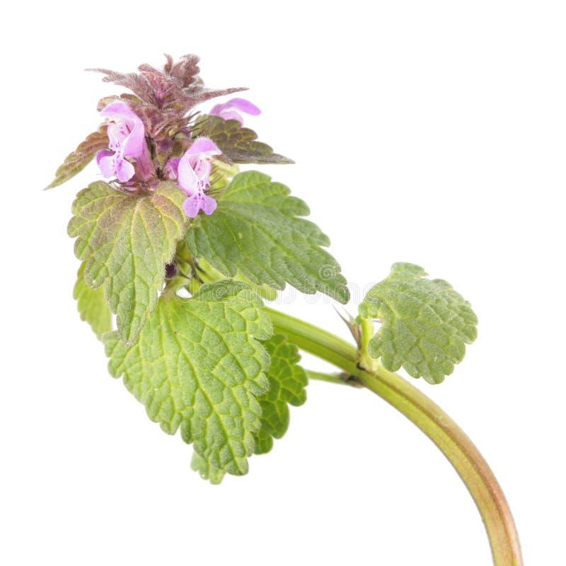 Inoperante-provocação ou purpureum roxo do Lamium isolado no fundo branco Planta medicinal e invasora imagens de stock royalty free