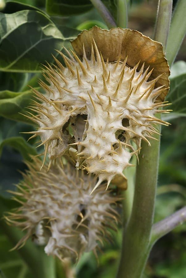 Inoxia, fruit et graines de datura de pomme d'épine photos libres de droits