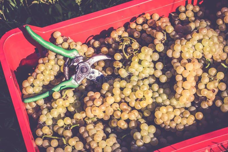 Inpackning av druvor i vingården arkivbilder
