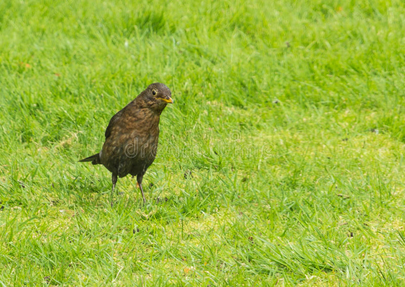 Download Inquisitive stock image. Image of feathered, grass, turf - 27913045