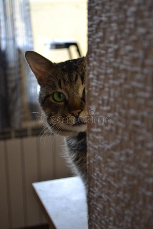 Inquisitive cat Timon. Inquisitive cat with green eyes peeks around the corner. Domestic Animals & Pets royalty free stock photo
