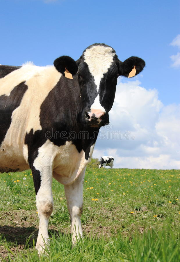 Download Inquisitive dairy cow stock image. Image of black, bovine - 12684179