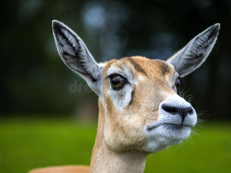 Inquisitive Deer wanting food royalty free stock images