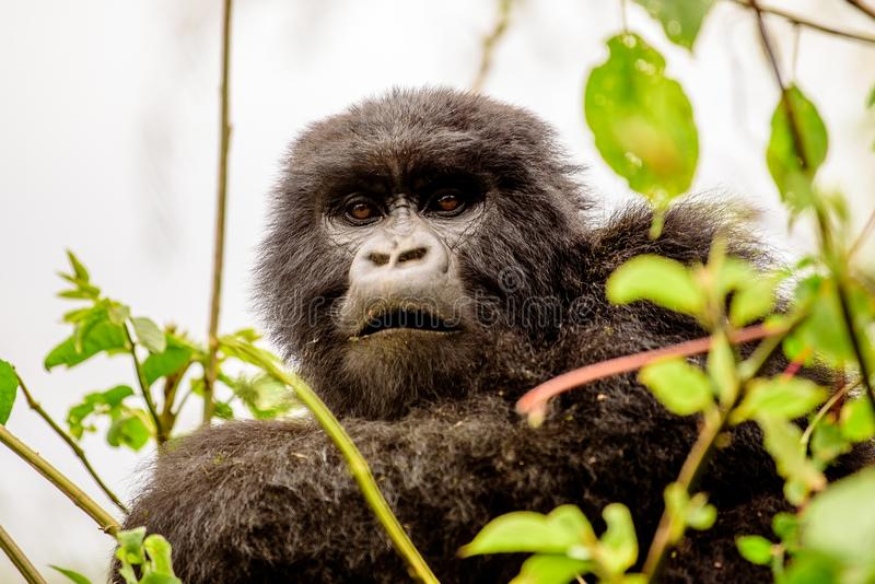 Attentive face of a mountain gorilla watching. Inquisitive face of a mountain gorilla watching stock photography