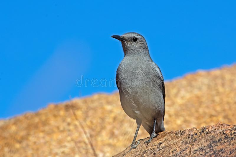 Karoo Chat on rock royalty free stock images