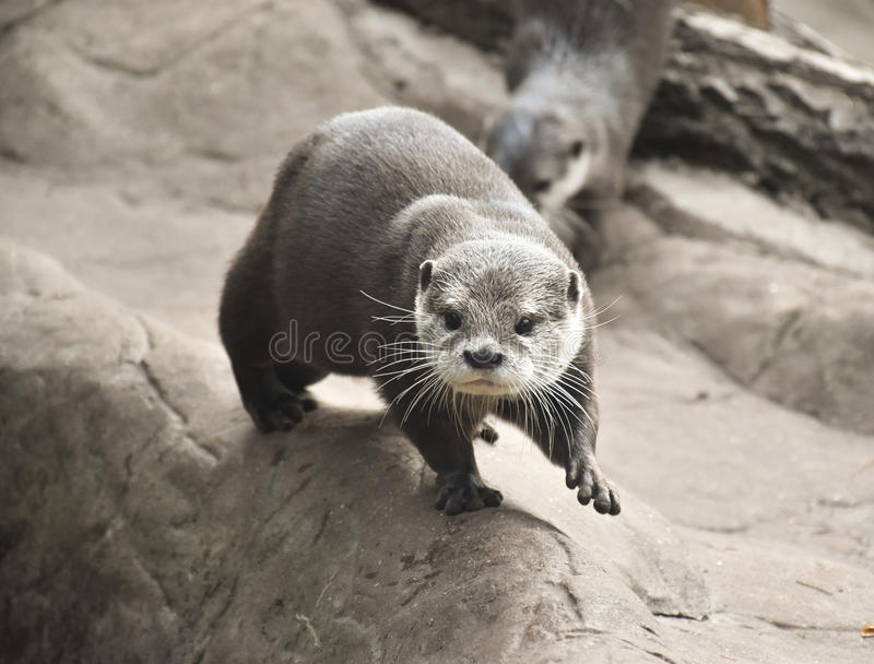 Inquisitive Otter royalty free stock image
