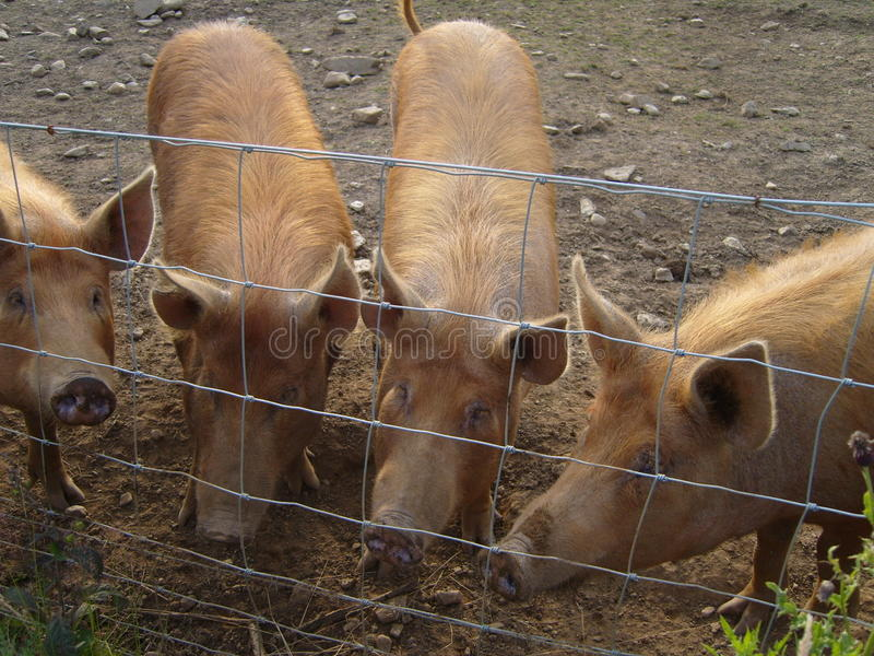Inquisitive Pigs royalty free stock photo