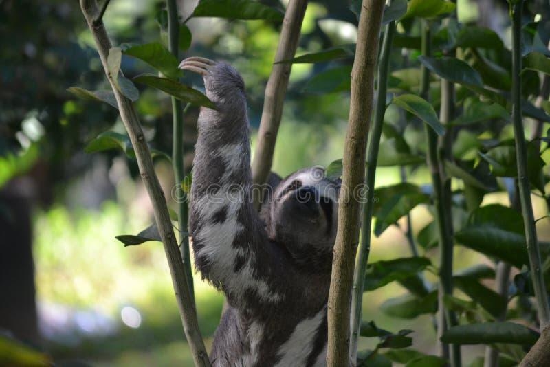 Inquisitive Sloth stock photo