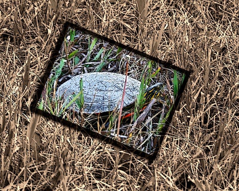 Inramad sköldpadda royaltyfria bilder