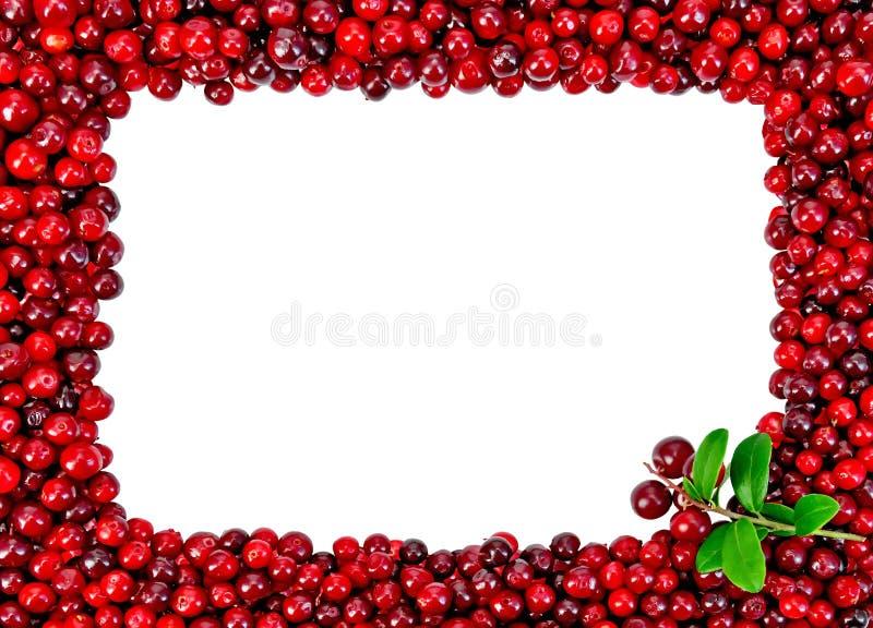 Inramat från foxberryen med en kvist arkivbild