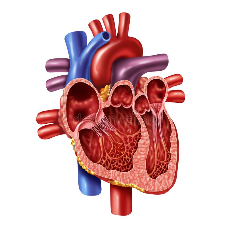 Inre anatomi för mänsklig hjärta vektor illustrationer