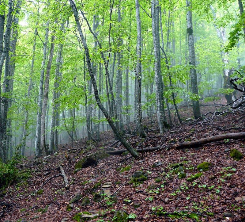 Inre av en bokträdskog med dimma Spanien Pyrinees fotografering för bildbyråer