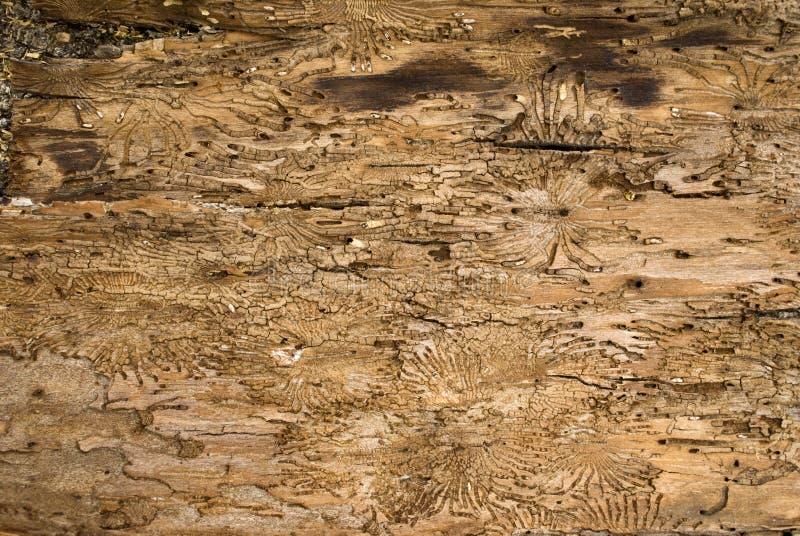 inre oak för skäll arkivfoto