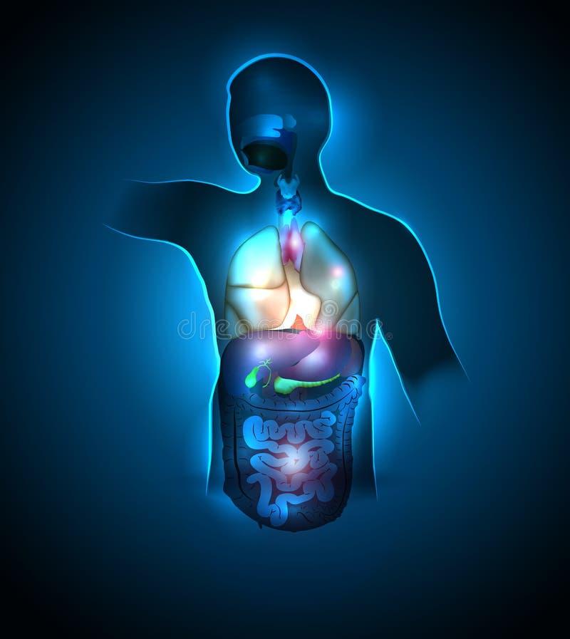 Inre organ för människokropp stock illustrationer