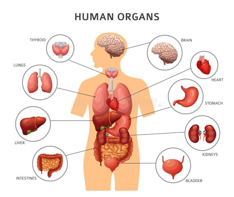 Inre organ för människokropp Mage och lungor, njure och hjärta, hjärna och lever Medicinsk anatomivektorinfographics vektor illustrationer