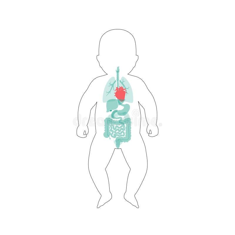 Inre organ för spädbarn vektor illustrationer