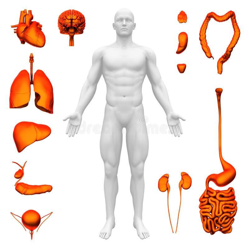 Inre organ - mänsklig anatomi royaltyfri illustrationer
