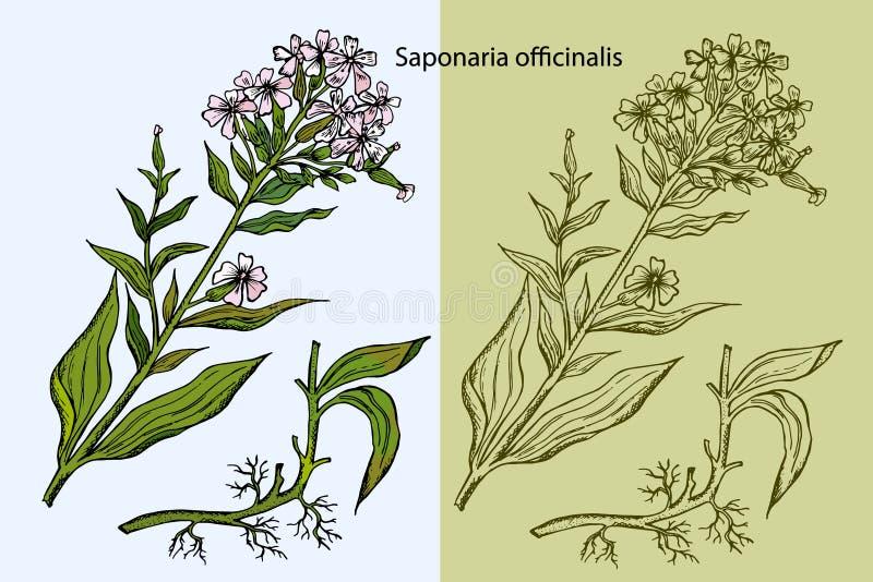 Inristad illustration av den gemensamma soapworten, vektor illustrationer
