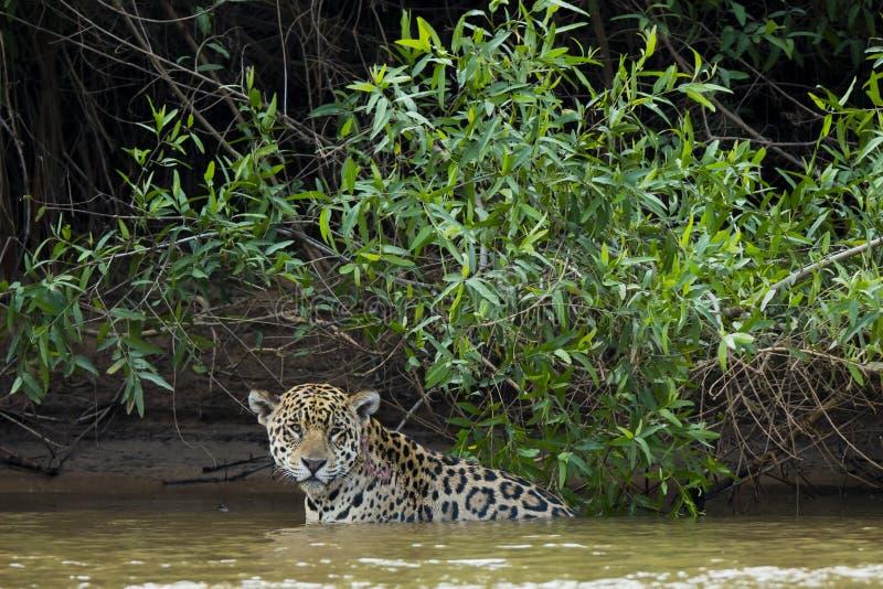 InRiver salvaje de Jaguar por la selva, Front View imagen de archivo libre de regalías
