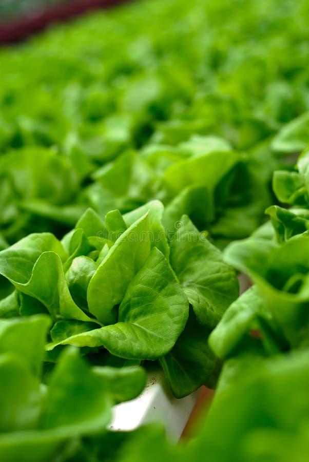 Insalata del cavolo verde fotografie stock
