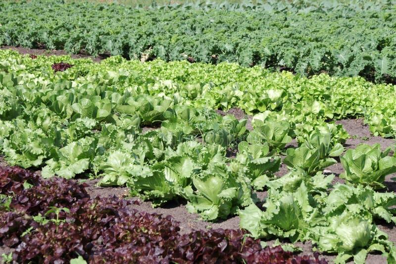 Insalate differenti e fresche nel campo, coltivazione dell'insalata immagini stock