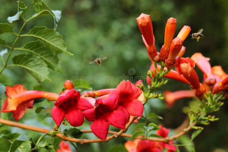 insamling av nectar royaltyfri bild