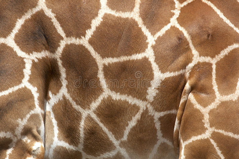 Inscriptions de la giraffe de rothchilds photos stock
