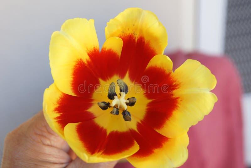Insde di pigolio del fiore del tulipano fotografia stock
