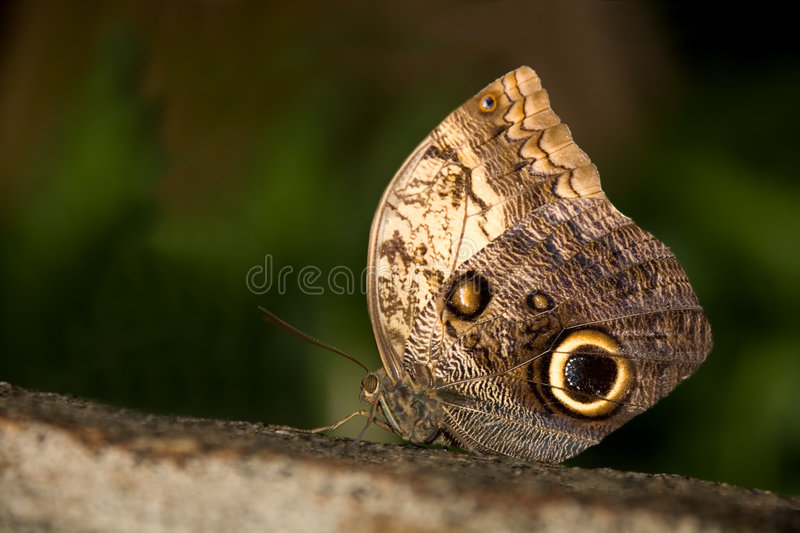 Insect 011 butterfly stock images