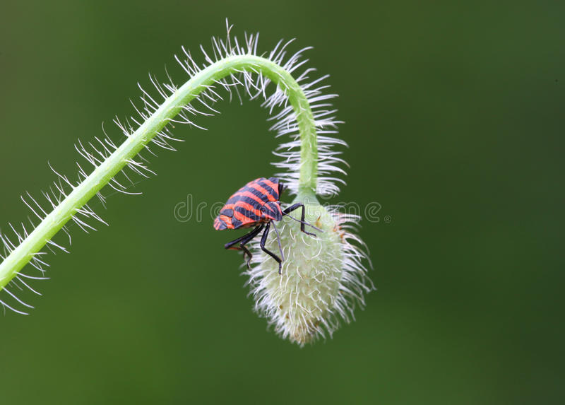 Download Insect stock image. Image of creepy, colors, graphosoma - 10935213