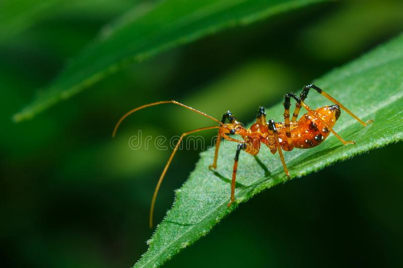 Insect action standing,Diligent bug find food in different places,Nesting,Diligent,macro closeup Insect on Leaves in a garden back stock image