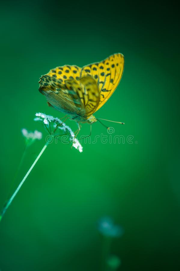 Insect alone large pearly butterfly brown orange butine a flower in summer. Beautiful orange color of the butterfly with the green of the fund. the light shows royalty free stock photo
