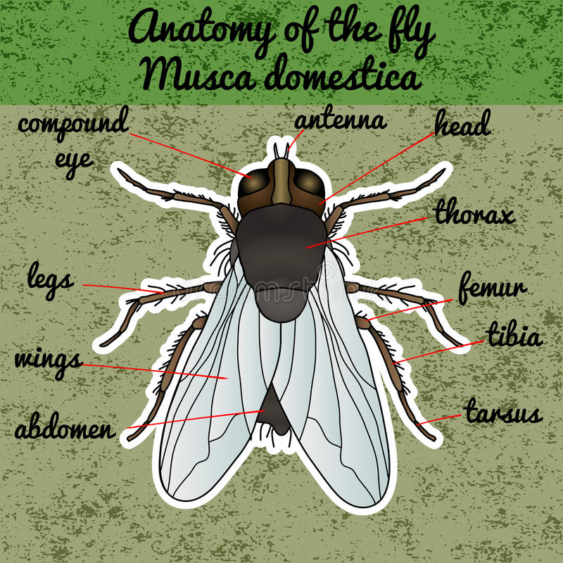 Insect anatomy. Sticker fly. Musca domestica.. Insect. a realistic fly. fly silhouette. fly Design for coloring book. Hand-drawn fly. Vector illustration stock illustration