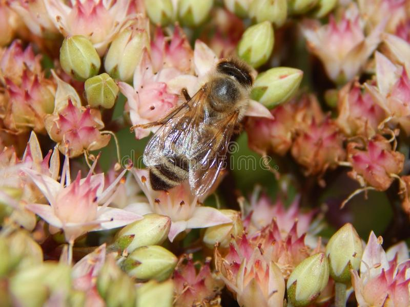 Insect, Bee, Honey Bee, Membrane Winged Insect Free Public Domain Cc0 Image