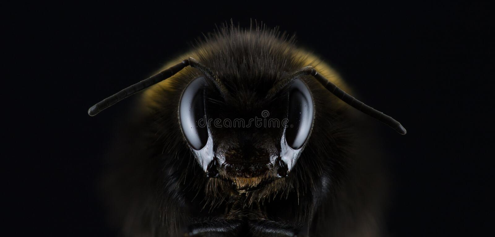 Insect, Bee, Honey Bee, Invertebrate stock photography