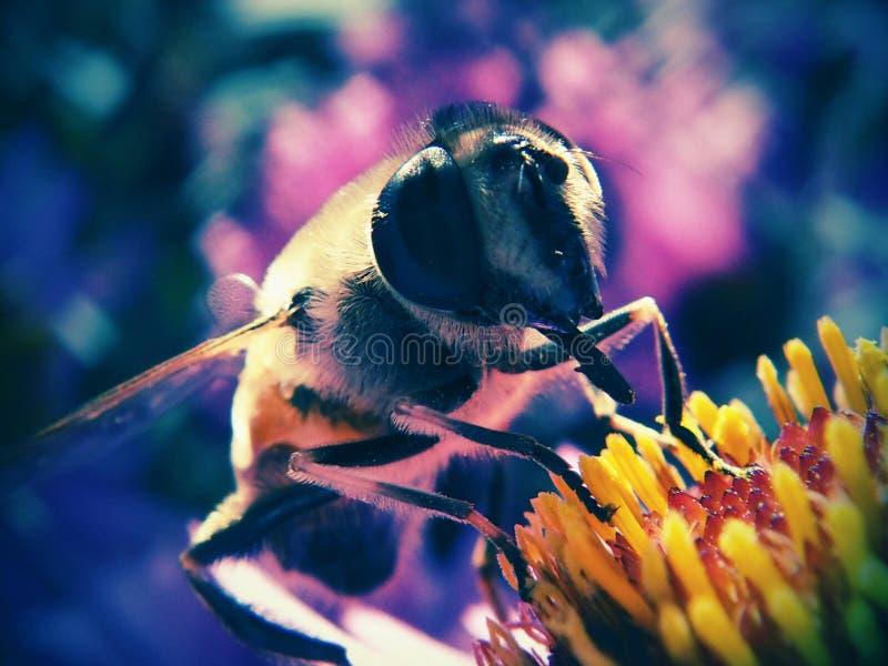 Insect, Bee, Honey Bee, Macro Photography royalty free stock photo