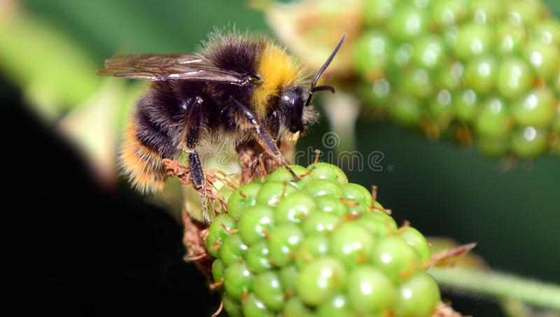 Insect, Bee, Membrane Winged Insect, Honey Bee royalty free stock images