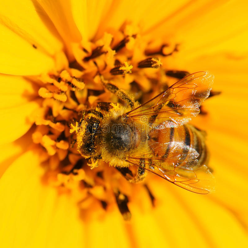 Insect bee pollinating flower royalty free stock image