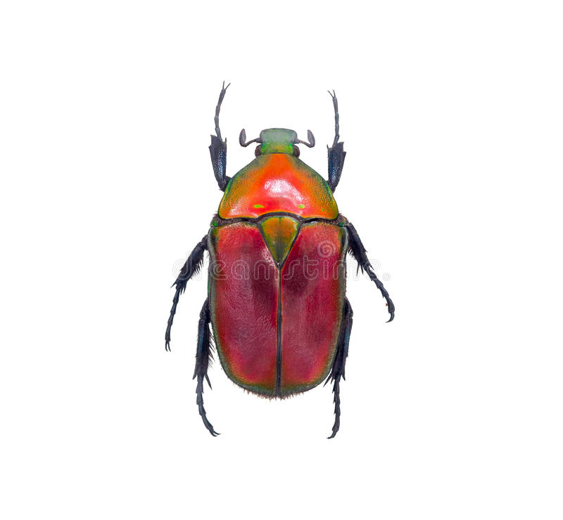 Download Insect Beetle, Or Bug On White Stock Photo - Image of insect, walking: 58589512