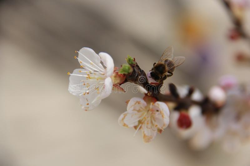 Insect, Blossom, Bee, Honey Bee stock photography