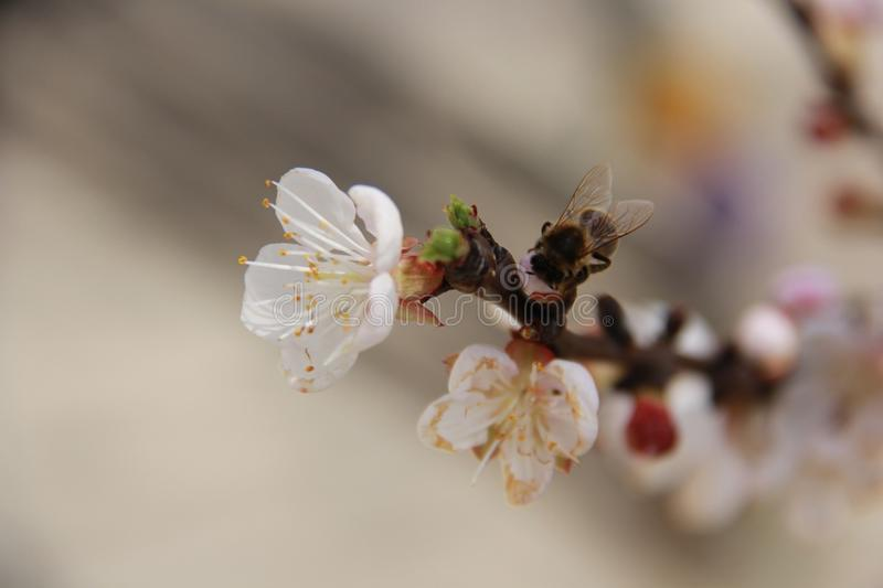 Insect, Blossom, Honey Bee, Bee stock photos