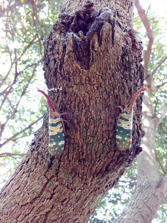 Insect bug Lanternfly Pyrops candelaria colour insect on tree fruit royalty free stock image