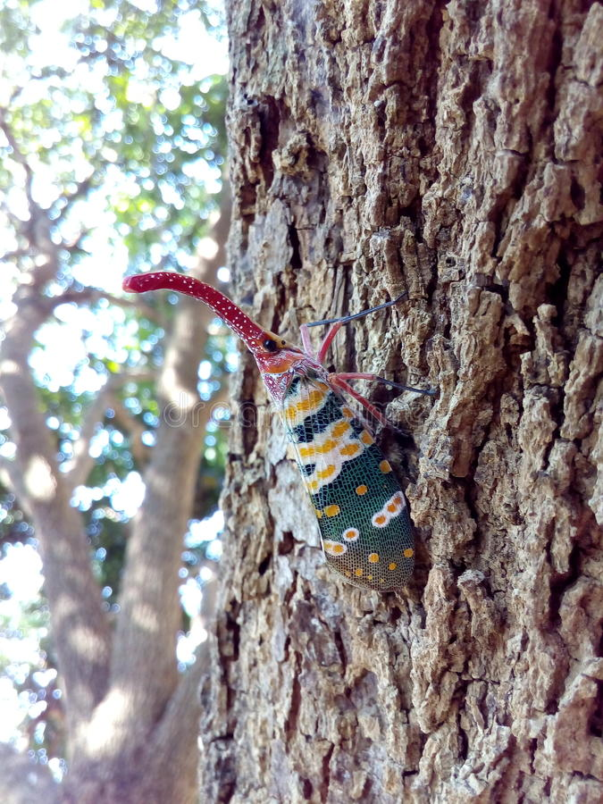 Insect bug Lanternfly Pyrops candelaria insect on tree fruit royalty free stock images