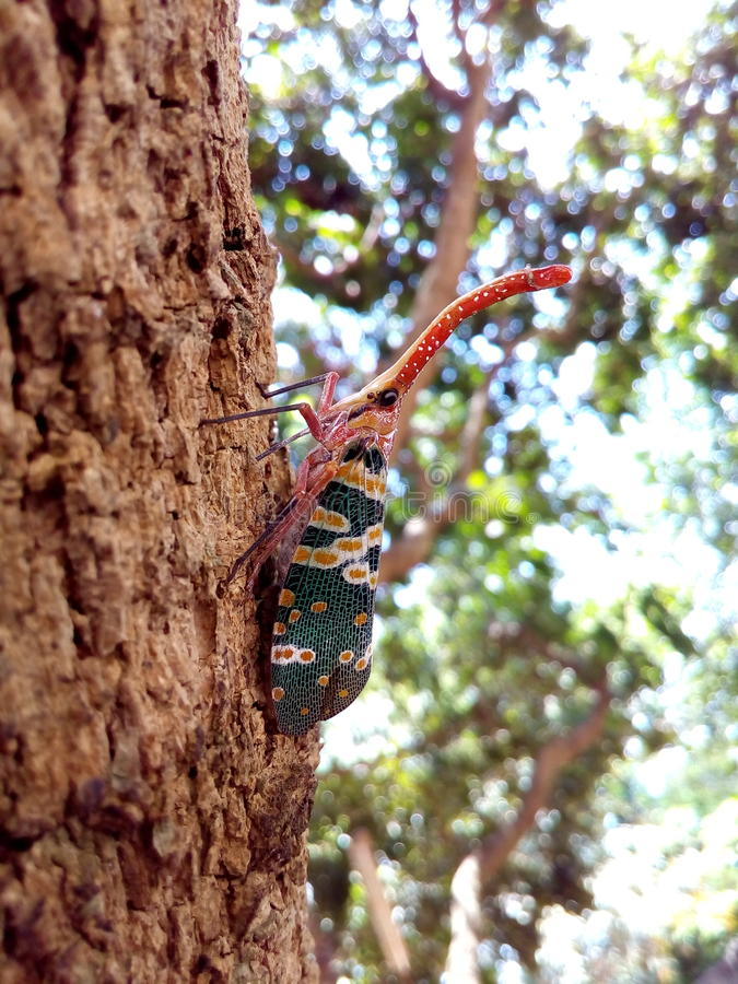 Insect bug Lanternfly Pyrops candelaria insect on tree fruit stock images