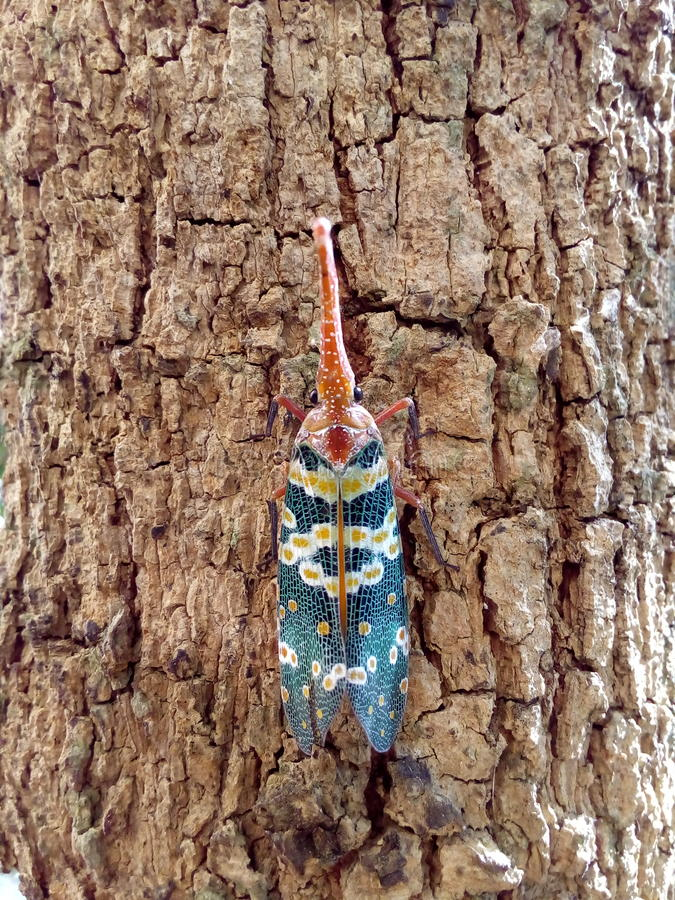Insect bug Lanternfly Pyrops candelaria insect on tree fruit royalty free stock photography