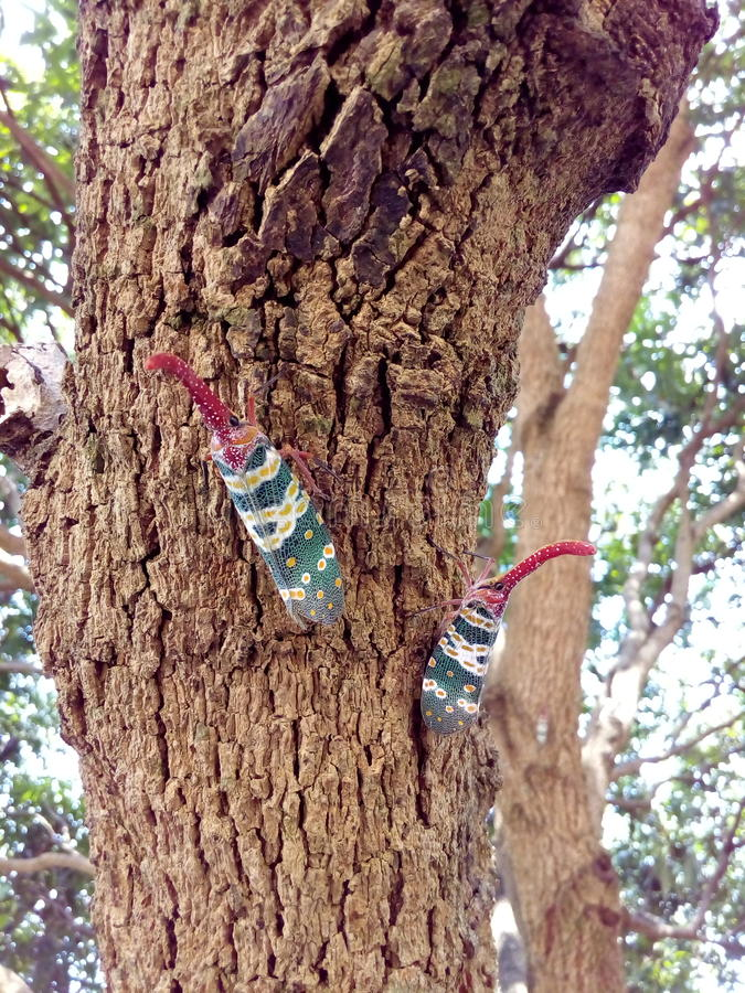 Insect bug Lanternfly Pyrops candelaria insect on tree fruit stock photo
