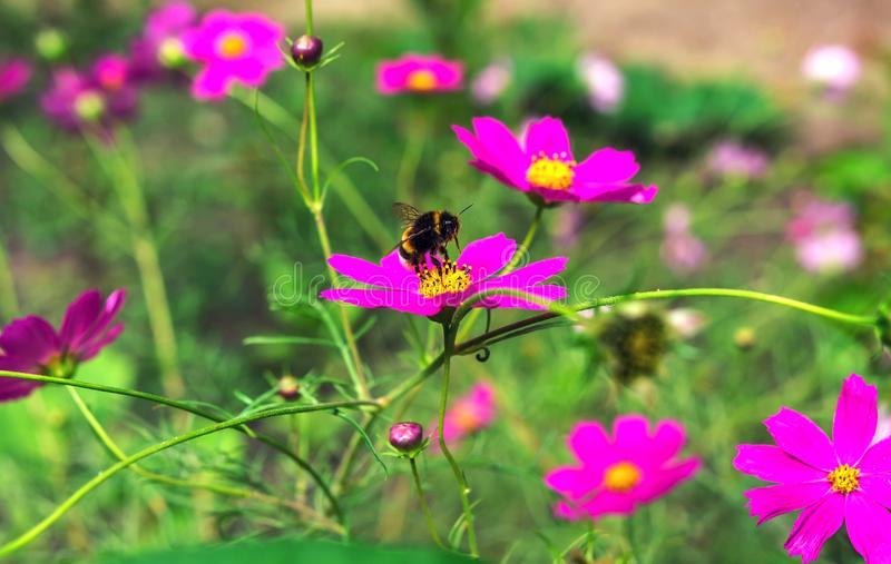Insect bumble bee. Insect bumble bee flying to a pink flower stock images
