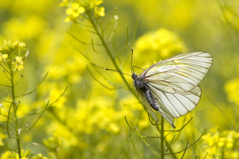 Insect butterfly wings royalty free stock photo